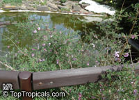 Lonicera thibetica, Tibetan Honeysuckle  Click to see full-size image