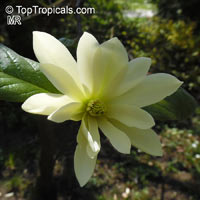 Magnolia 'Goldstar', Goldstar Magnolia  Click to see full-size image