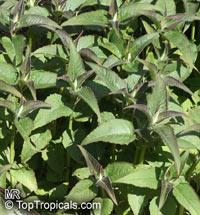 Monarda sp., Bee Balm, Horsemint, Oswego Tea, Bergamot  Click to see full-size image