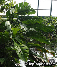 Monstera acuminata, Monstera karwinskyi, Monstera  Click to see full-size image