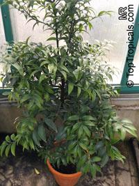 Nageia nagi, Podocarpus nagi, Myrica nagi, Asian Bayberry, Broadleaf Podocarpus  Click to see full-size image
