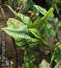 Neolepisorus truncatus  Click to see full-size image