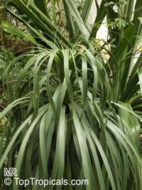 Nolina bigelovii, Beargrass  Click to see full-size image