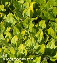 Origanum vulgare, Oregano, Wild Marjoram, Greek Oregano  Click to see full-size image