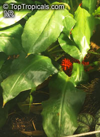 Palisota barteri, PalisotaClick to see full-size image