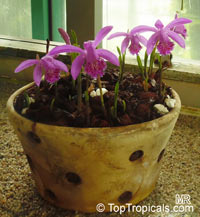Pleione sp., Peacock Orchid, Himalayan crocus, Indian Crocus, Windowsill Orchid  Click to see full-size image