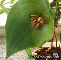 Pleurothallis sp., Pleurothallis  Click to see full-size image