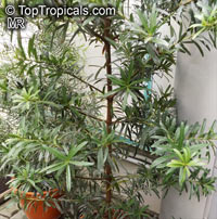 Podocarpus sp., Podocarpus  Click to see full-size image