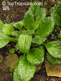 Primulina sp., Primulina  Click to see full-size image
