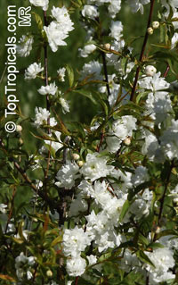 Prunus glandulosa, Prunus japonica, Cerasus glandulosa, Chinese Bush Cherry, Chinese Plum, 	Korean Cherry, Dwarf Flowering Almond  Click to see full-size image