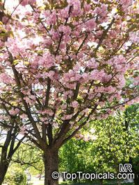 Prunus serrulata (Sato-zakura Group), Japanese Cherry, Sakura  Click to see full-size image