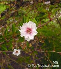 Prunus x yedoensis, Cerasus x yedoensis, Yoshino cherry  Click to see full-size image