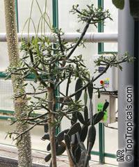 Quiabentia verticillata, Quiabentia pereziensis,Pereskia verticillata, QuiabentiaClick to see full-size image