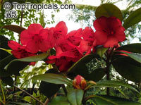 Rhododendron section Vireya, Vireya Rhododendron  Click to see full-size image