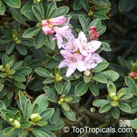 Rhododendron hippophaeoides, Hippophaeoides Rhododendron  Click to see full-size image