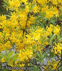 Rhododendron luteum, Yellow azalea, Honeysuckle Azalea  Click to see full-size image