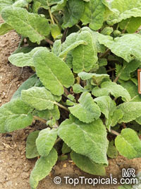Salvia sclarea, Clary Sage, Europe Sage  Click to see full-size image