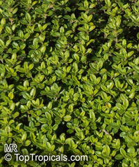 Thymus pulegioides, Broad-leaved Thyme, Lemon Thyme  Click to see full-size image