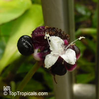 Tradescantia zanonia, Commelina zanonia, Mexican Flag  Click to see full-size image