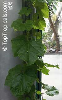 Trichosanthes sp., Serpent Gourd  Click to see full-size image