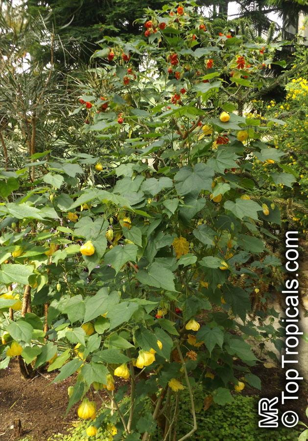 Abutilon X Hybridum Flowering Maple Weeping Maplechinese Lantern