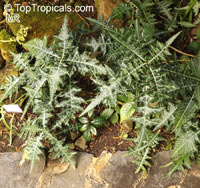 Acanthus sp., Acanthus, Bear 's Breeches  Click to see full-size image