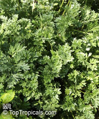 Artemisia arborescens, Tree Wormwood  Click to see full-size image