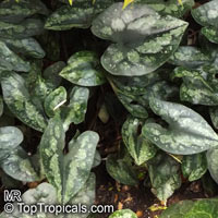 Asarum splendens, Chinese Wild Ginger  Click to see full-size image