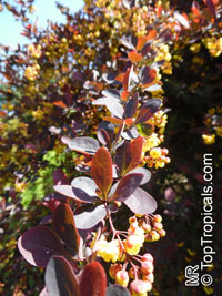 Berberis sp., Barberry