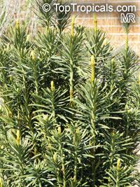 Cephalotaxus harringtonii, Japanese Plum Yew, Harrington's Cephalotaxus, Cowtail Pine  Click to see full-size image