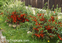 Chaenomeles sp., Flowering quince, Dwarf quince  Click to see full-size image