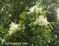 Fraxinus ornus, Manna Ash  Click to see full-size image