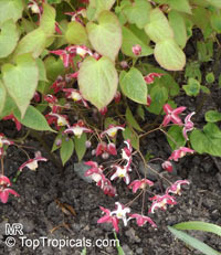 Epimedium sp., Horny Goat Weed, Bishop's Cap  Click to see full-size image