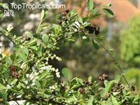 Exochorda sp., PearlbushClick to see full-size image