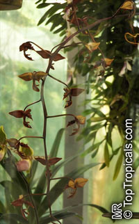 Gongora sp.  Click to see full-size image