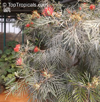 Grevillea banksii, Red Silky Oak, Kahili Flower  Click to see full-size image