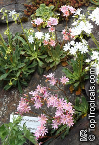 Lewisia cotyledon, Cliff MaidsClick to see full-size image
