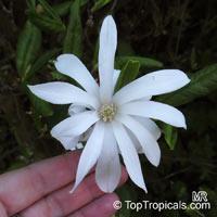 Magnolia stellata, Star MagnoliaClick to see full-size image