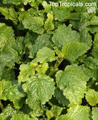 Melissa officinalis, Lemon BalmClick to see full-size image