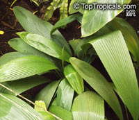 Molineria sp., Curculigo sp., Palm Grass, Whale Back, Snout Lily, Pleated SkirtClick to see full-size image