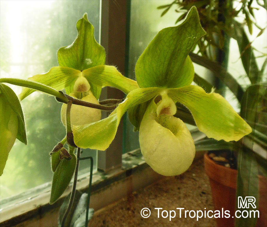 Paphiopedilum Sp Paphiopedilum Orchid Slipper Orchid