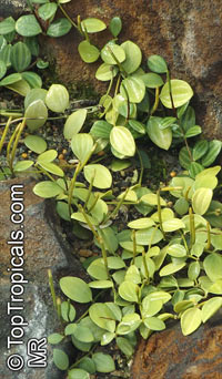 Peperomia sp., Radiator Plant  Click to see full-size image