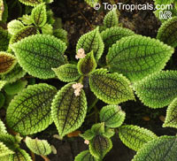 Pilea mollis, Pilea crassifolia , Moon Valley Pilea