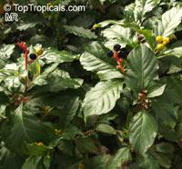 Pleuropetalum darwinii, Galapagos Pleuropetalum  Click to see full-size image