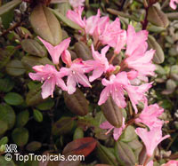 Rhododendron racemosum, Rock Rose, Racemose Rhododendron  Click to see full-size image