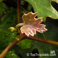 Rhoicissus tomentosa, Cissus tomentosa, Cissus capensis, Cape Grape  Click to see full-size image