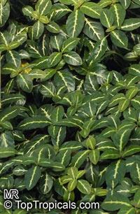 Ruellia devosiana, Brazilian Wild PetuniaClick to see full-size image