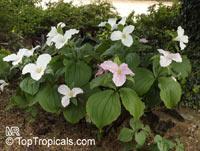 Trillium sp., Trillium, Wakerobin, Tri Flower, BirthrootClick to see full-size image