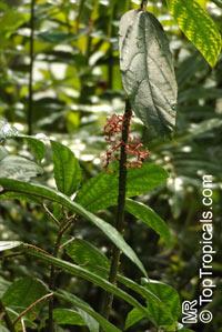 Urera baccifera, Ortiga Brava  Click to see full-size image