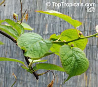 Actinidia kolomikta, KiwiClick to see full-size image